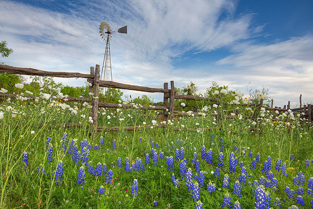Windmill Over Bluebonnets and Poppies 1 by Rob Greebon