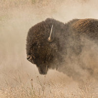 Afternoon Buffalo in the Dust Art Prints by Robert Dawson