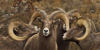 Big Horn Sheep Art Prints by Robert Dawson Artist