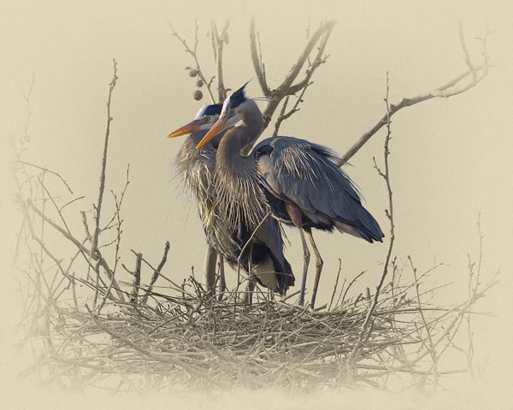 Great Blue Herons – Art Prints by James Brown