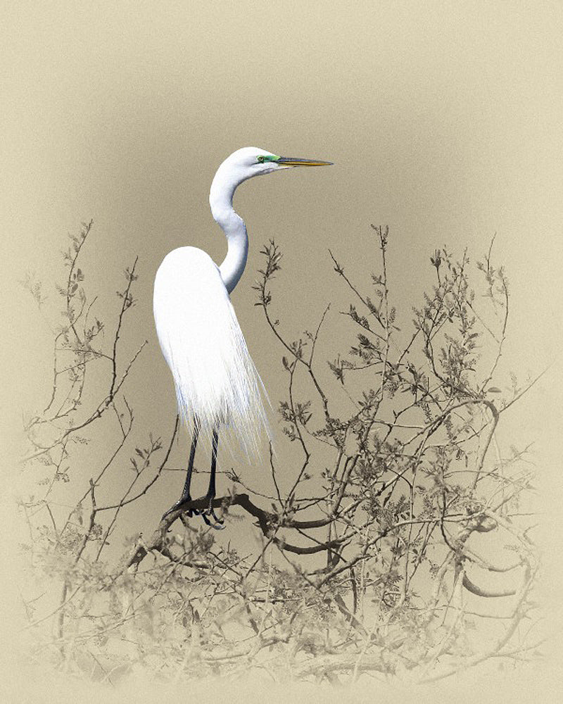 Great Egret – Art Prints by James Brown