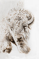 Great Plains Buffalo Art Prints by Robert Dawson