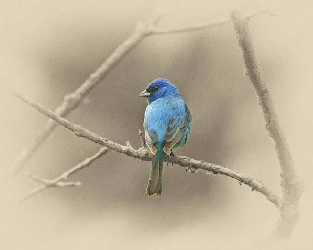 Indigo Bunting Bird – Art Prints by James Brown