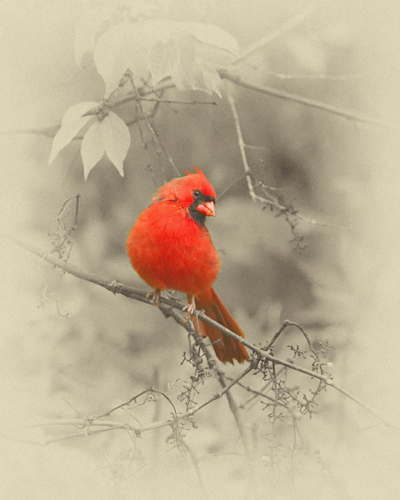 Male Cardinal Bird – Art Prints by James Brown
