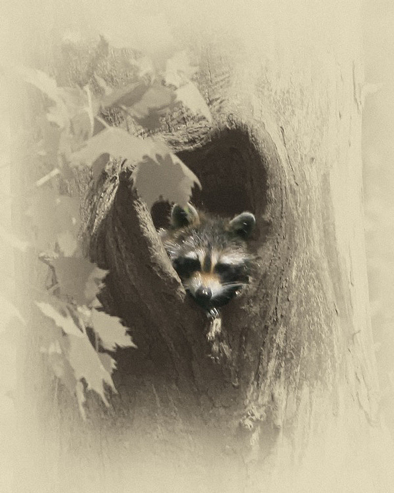Racoon Animal – Art Prints by James Brown