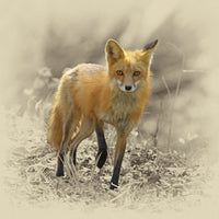 Red Fox Animal – Art Prints by James Brown