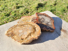 Petrified Wood (Madagascar) - Earth's Treasures