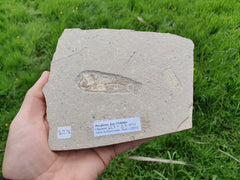 Perciforme fam. Cichlidae Fossil Fish - Earth's Treasures