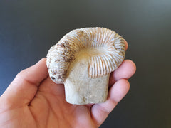 Heteromorph Ammonite Fossil - Earth's Treasures
