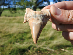 Otodus Shark Tooth Fossil - Earth's Treasures