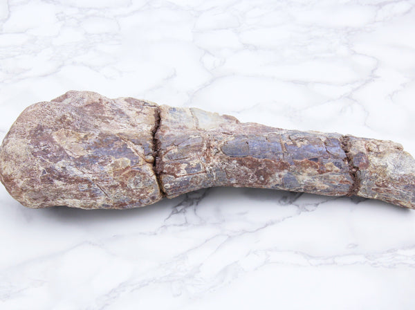 T-Rex Humerus Fossil - Earth's Treasures