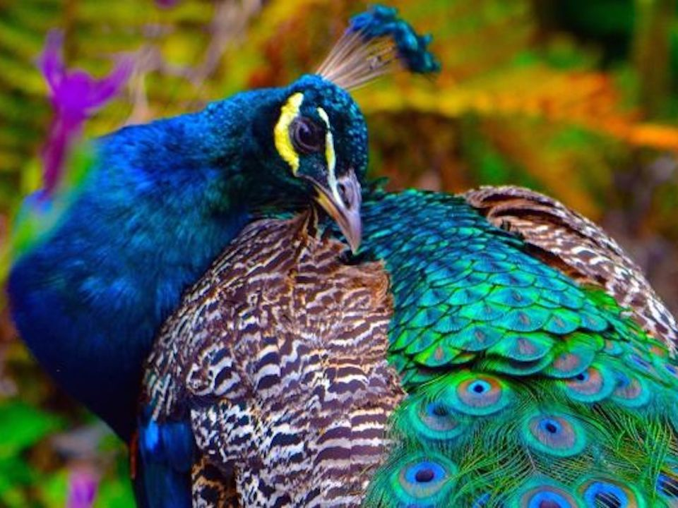 Peacock Love Jewellery Collection