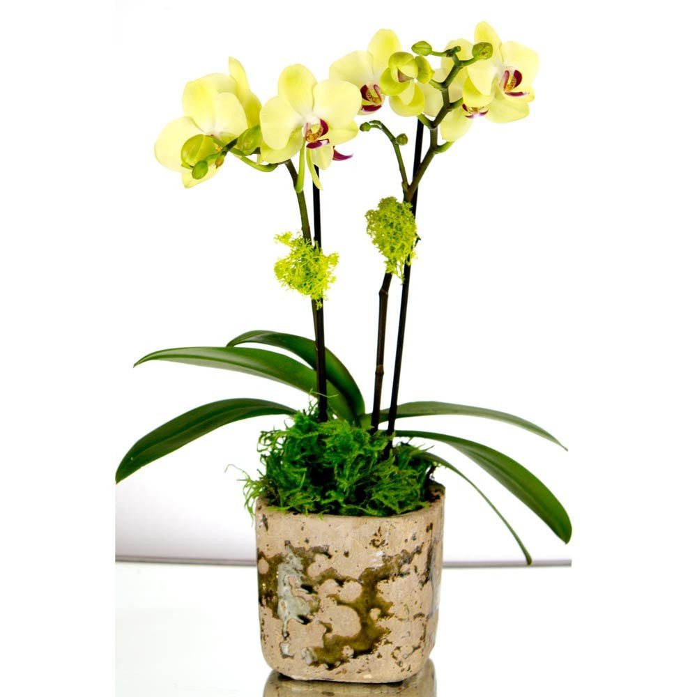 Mini Yellow Orchid in a Pot