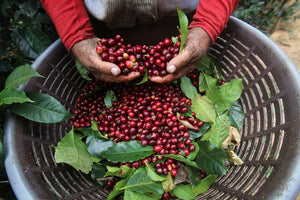 Steel oak coffee selects the best seasonal coffees grown with care and hand-picked coffee cherries when ripe.