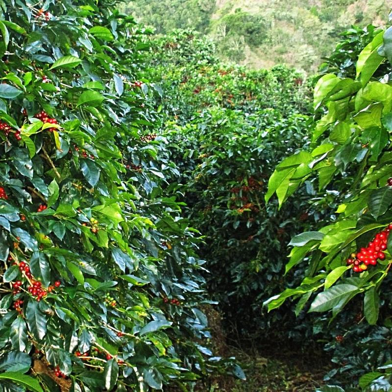 Ripening coffee on trees. Bourbon variety, grown in El Salvador