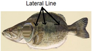 lateral line and tips to use it at panvago angler blogs.