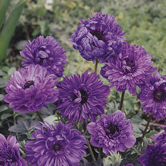 Forest Homes Seeds - Nature Home Decor - Anemone Seeds