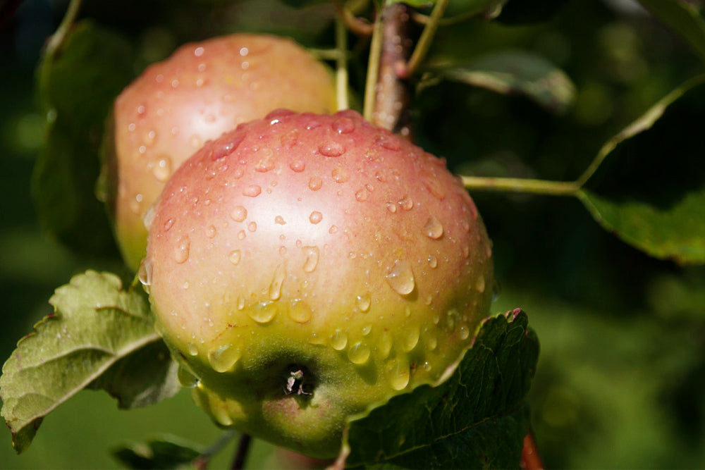 For blemish-free fruit and a healthier garden, begin with dormant spray