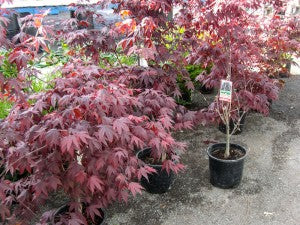 BloodgoodJapaneseMaple2