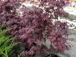 BloodgoodJapaneseMaple3