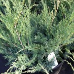 Blue Danube Juniper