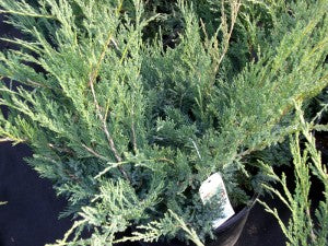 Blue_Danube_Juniper