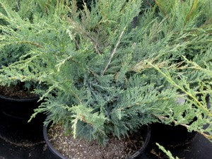 Blue_Danube_Juniper2
