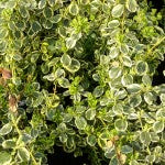 Canadale Gold Euonymus