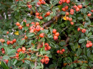 Coral_Beauty_Cotoneaster