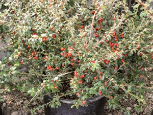 Coral_Beauty_Cotoneaster2