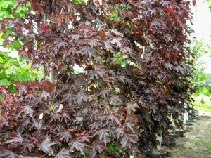 CrimsonSentryMaple