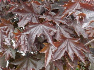 CrimsonSentryMaple2