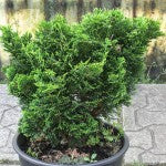 Dwarf Hinoki False Cypress