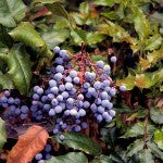 Dwarf Oregon Grape