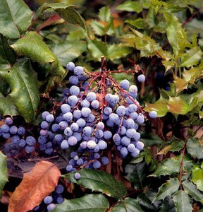 Dwarf_Oregon_Grape