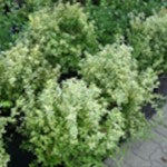 Emerald 'N Gold Euonymus