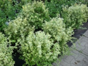 Emerald_N_Gold_Euonymus