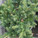Emerald Spreader (monloo) Japanese Yew