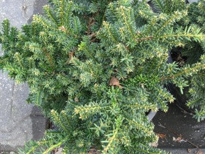 Emerald_Spreader_Japanese_Yew