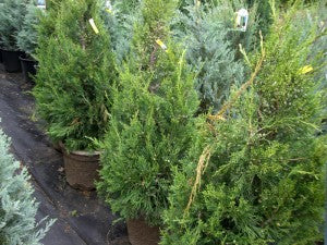 Fairview_Juniper