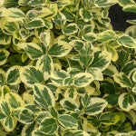 Gold Splash Euonymus
