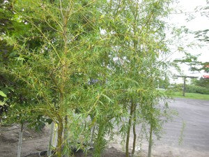 GoldenWeepingWillow