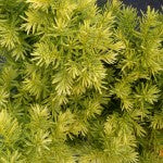 Golden Japanese Yew