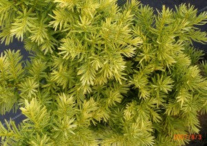 Golden_Japanese_Yew