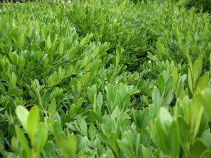Green_Gem_Boxwood