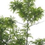 Imperial Honeylocust