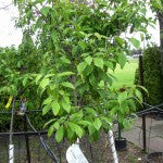 Italian Prune Plum Tree