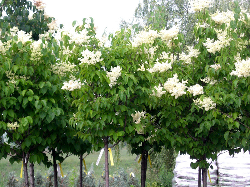 Ivory silk tree lilac knippel garden centre ivorysilktreelilac ivorysilktreelilac2 ivorysilktreelilac3 publicscrutiny Images
