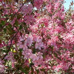 Makamik Crab Apple