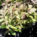 Midnight Wine Weigela